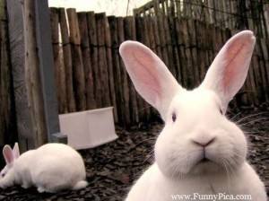 Funny-Cute-Rabbits-Funny-Cute-Rabbit-Picture-047-FunnyPica.com_
